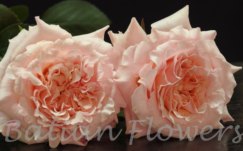Peach Garden Rose garden rose mayra's peach - batian flowers
